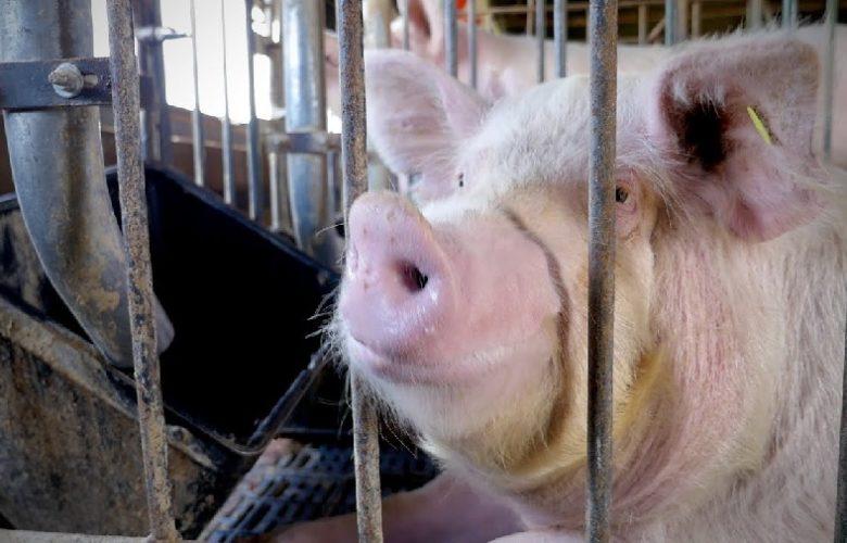 Apoyo para ganaderos porcícolas. Foto: Internet.