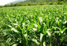 Disminuye agricultura y ganadería en Jamay. Foto: Internet.